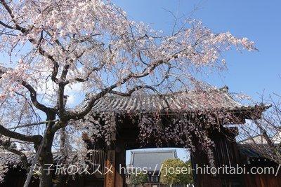 妙覺寺のしだれ桜