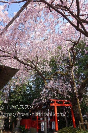 水火天満宮の桜